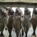 halibut fishing limits